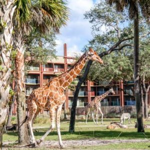 Giraffes at the Animal Kingdom Lodge
