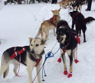 3 Ways Your Family Can Enjoy Dog Sledding in Michigan's Upper Peninsula