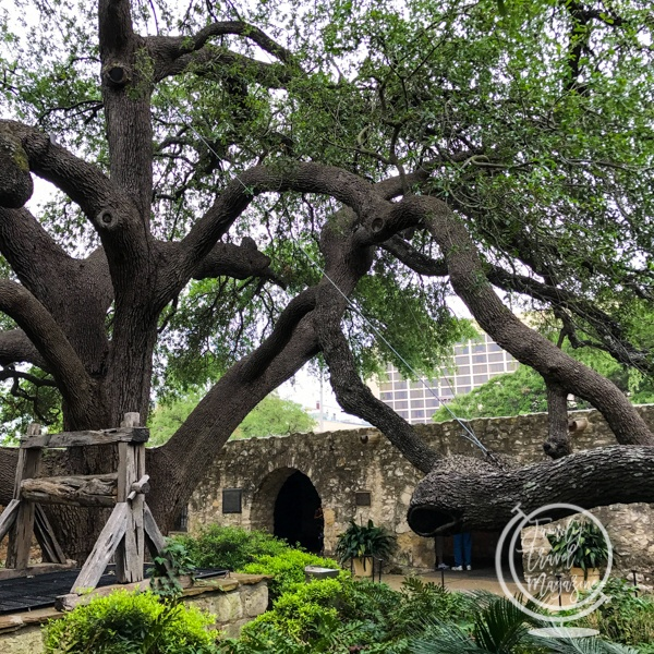 Tree at the Alamo