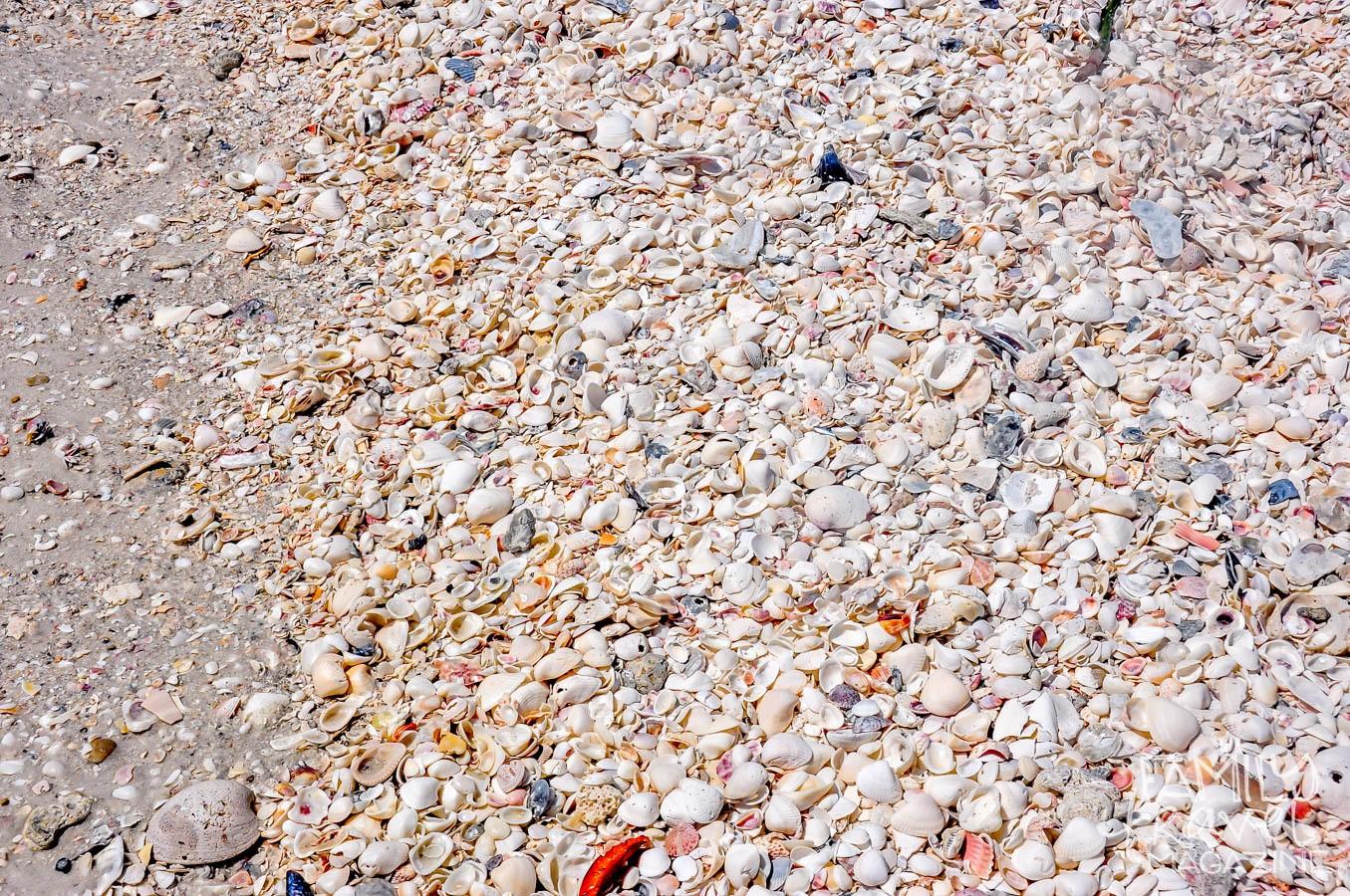 Shells on a beach in the Gulf Coast