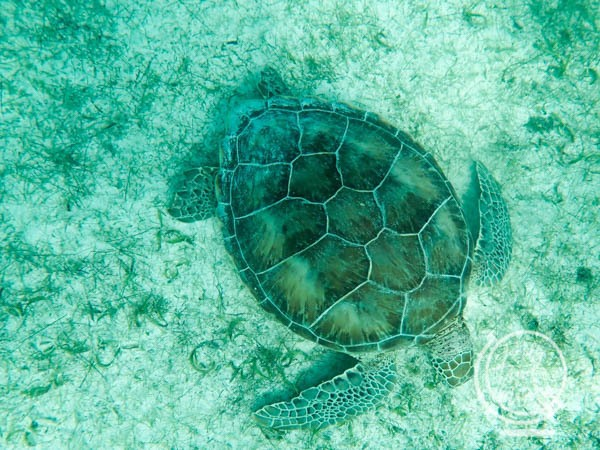 A turtle in Akumal Bay