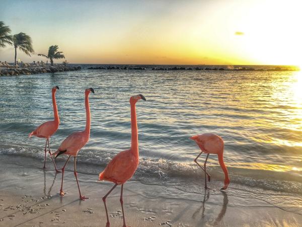 Flamingoes in Aruba