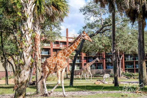 Giraffes at Disney's Animal Kingdom Lodge