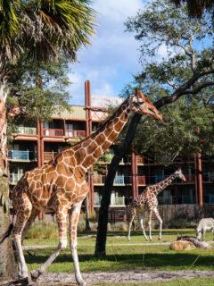 Giraffes in front of Animal Kingdom Lodge