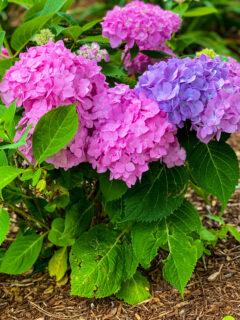 Pink / Purple Hydrangeas
