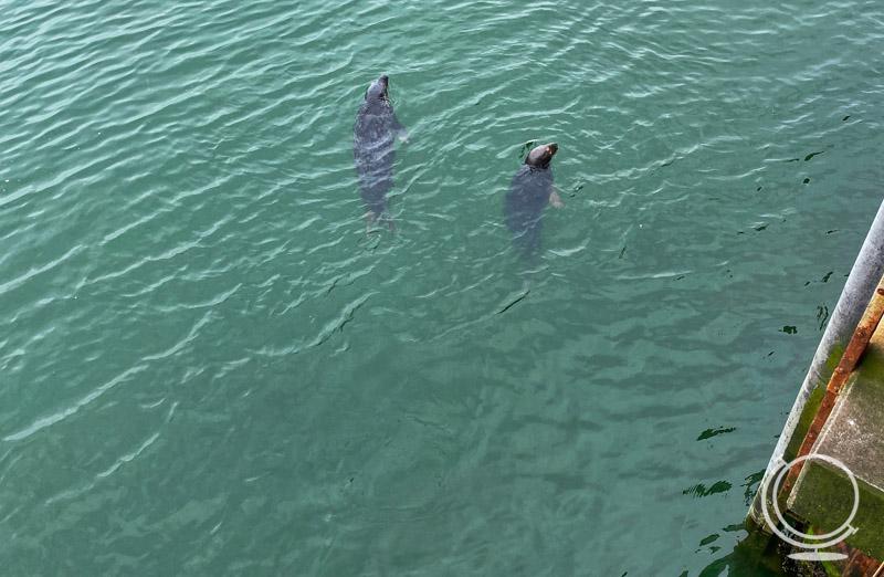 Seals at the fish pier