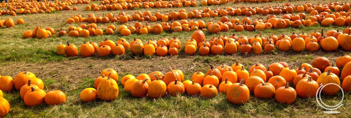 Pumpkins to pick